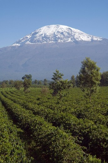Coffee plantation Coffea arabica, Mwika, Kilimanjaro, Tanzania, East Africa, Africa : Stock Photo