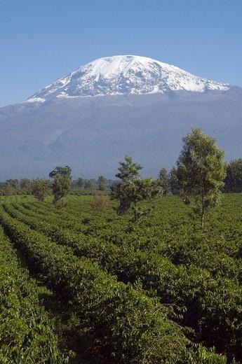 Stock Photo: 1848-404609 Coffee plantation Coffea arabica, Mwika, Kilimanjaro, Tanzania, East Africa, Africa
