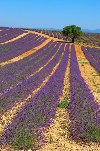 Lavender field at Plateau de Valensole, Alpes_de_Haute_Provence, Valensole, France, Europe : Stock Photo