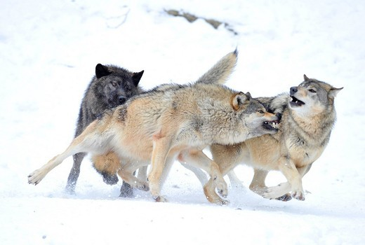 Stock Photo: 1848-405978 Wolves fighting about hierarchy, Mackenzie Wolf, Alaskan Tundra Wolf or Canadian Timber Wolf Canis lupus occidentalis in the snow