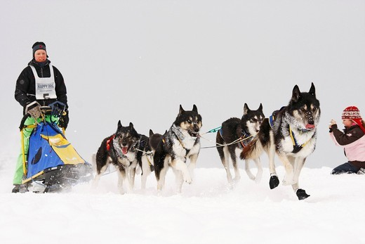 Siberian Huskies, Winterberg Sled Dog Races 2010, Sauerland, North Rhine_Westphalia, Germany, Europe : Stock Photo