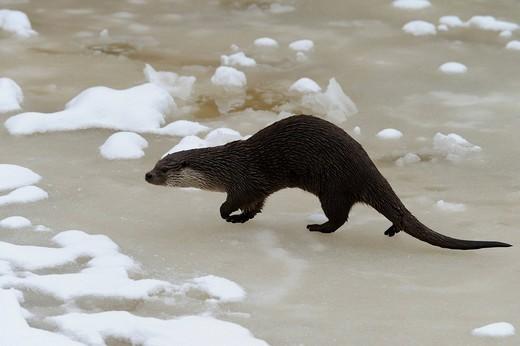 European Otter Lutra lutra : Stock Photo