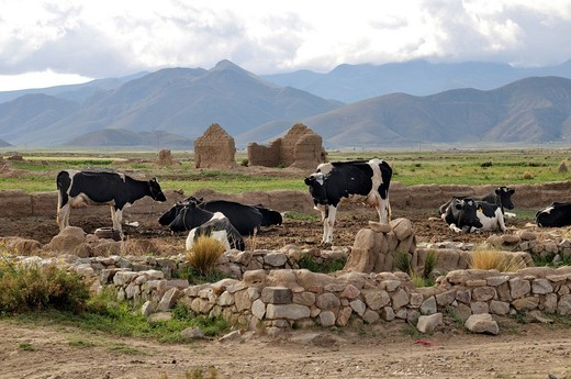 Stock Photo: 1848-406500 Dairy cow farming, cows, Altiplano Bolivian highland, Oruro Department, Bolivia, South America