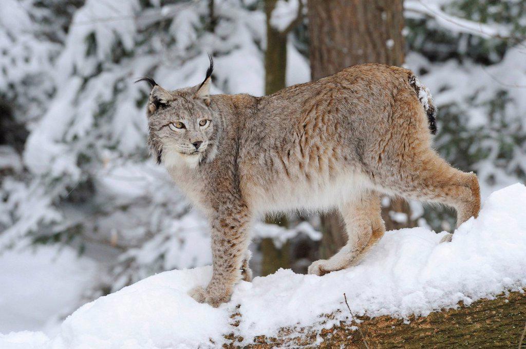 European lynx Lynx lynx in the snow : Stock Photo