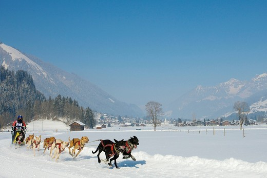 Stock Photo: 1848-406772 Musher mushing his Alaskan huskies at sleddog race in Lenk, Switzerland, Europe