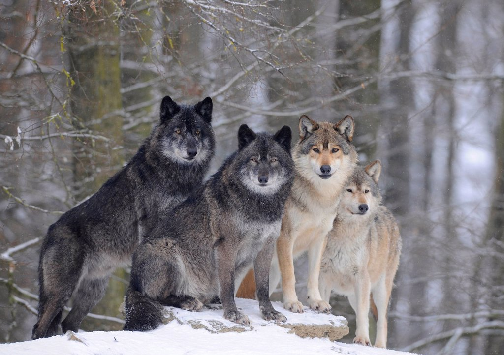 Mackenzie Wolf, Alaskan Tundra Wolf or Canadian Timber Wolf Canis lupus occidentalis, wolves in the snow : Stock Photo