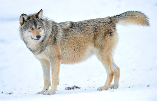 Stock Photo: 1848-407797 Mackenzie Wolf, Alaskan Tundra Wolf or Canadian Timber Wolf Canis lupus occidentalis in the snow