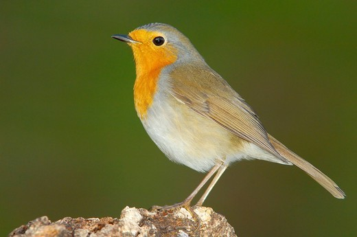 Stock Photo: 1848-408218 European Robin Erithacus rubecula