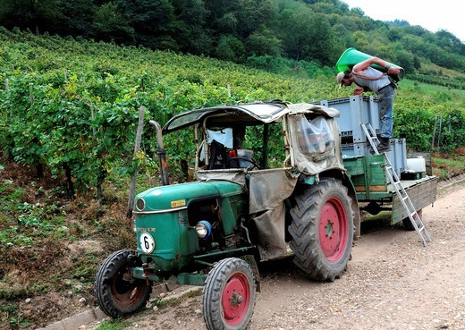 A man loading grapes onto a tractor in a vineyard in Moselle valley, Rhineland_Palatinate, Germany, Europe : Stock Photo