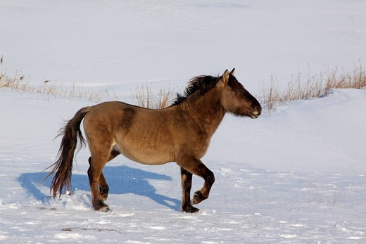 Stock Photo: 1848-410775 Konik or Polish Primitive Horse Equus przewalskii f. caballus walking in snow in winter