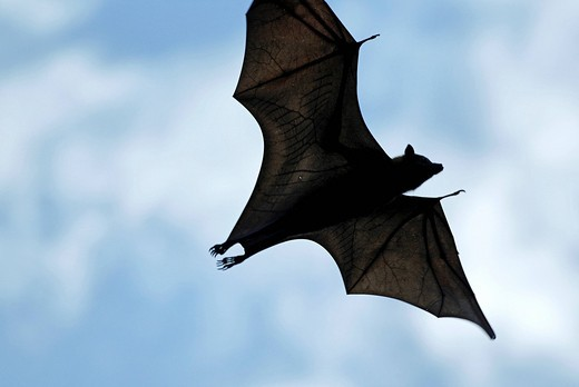 Stock Photo: 1848-410996 Black flying_fox Pteropus alecto in flight, Northern Territory, Australia