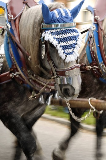 Team of horses during a Leonhardifeier procession, Hoehenkirchen Siegertsbrunn, Upper Bavaria, Bavaria, Germany, Europe : Stock Photo