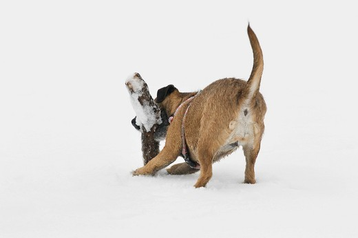 Stock Photo: 1848-412744 Terrier crossbreed fetching a branch in the snow