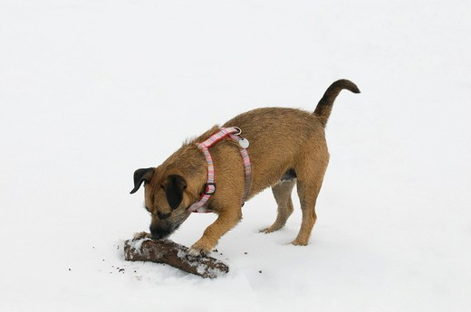 Brown terrier crossbreed digging, biting and scratching a large stick for retrieving in the snow : Stock Photo