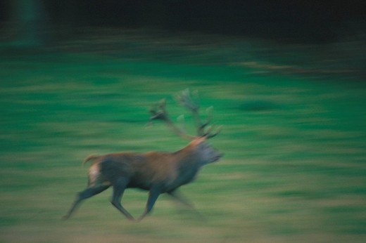 Elk, Servus elaphus, in motion : Stock Photo