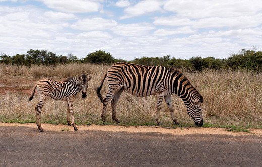 Stock Photo: 1848-414258 Zebra and foal, Kruger National Park, South Africa, Africa