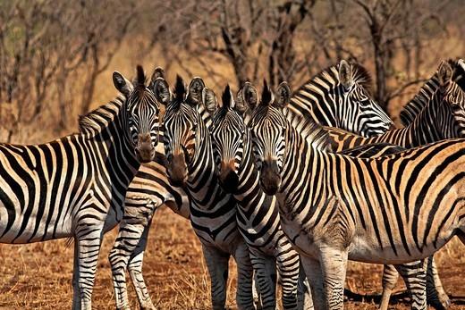 Stock Photo: 1848-414259 Zebras, Kruger National Park, South Africa, Africa