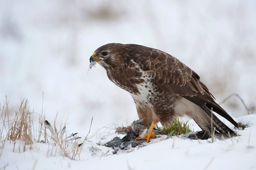 Buzzard Buteo buteo with prey, pigeon : Stock Photo