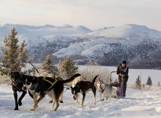 Sled dogs, Alaskan Huskies, dog team, musher, dog sled race near Whitehorse, Fish Lake behind, Yukon Territory, Canada : Stock Photo