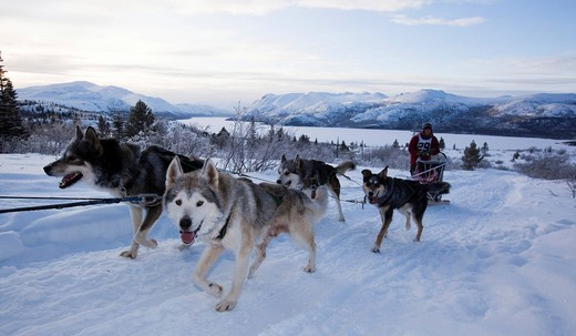 Stock Photo: 1848-414740 Sled dogs Alaskan Huskies, dog team, musher, dog sled race near Whitehorse, Fish Lake behind, Yukon Territory, Canada