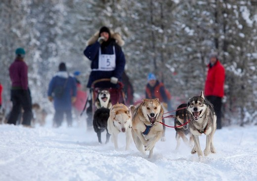 Stock Photo: 1848-414741 Running sled dogs, Alaskan Huskies, dog team, Carbon Hill dog sled race, Mt. Lorne, near Whitehorse, Yukon Territory, Canada