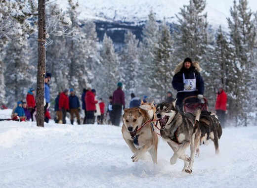 Running sled dogs, Alaskan Huskies, dog team, Carbon Hill dog sled race, Mt. Lorne, near Whitehorse, Yukon Territory, Canada : Stock Photo