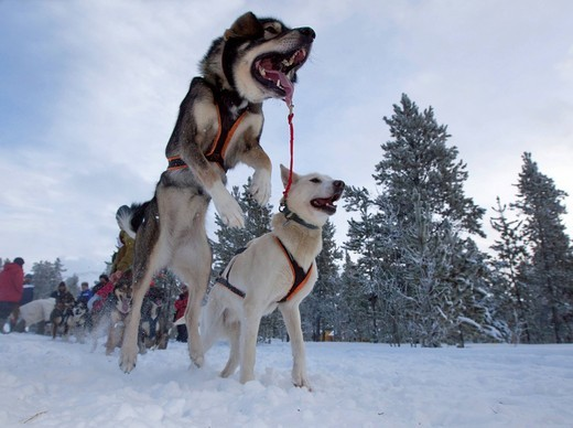 Stock Photo: 1848-414745 Exited sled dogs jumping at the start line, lead dogs, leaders, Alaskan Huskies, Carbon Hill dog sled race, Mt. Lorne, near Whitehorse, Yukon Territory, Canada