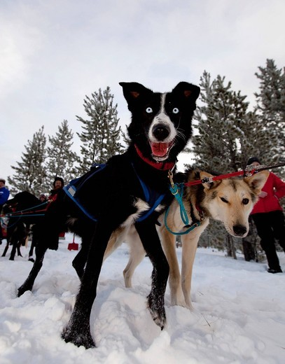 Exited sled dogs at the start line, lead dogs, leaders, Alaskan Huskies, Carbon Hill dog sled race, Mt. Lorne, near Whitehorse, Yukon Territory, Canada : Stock Photo