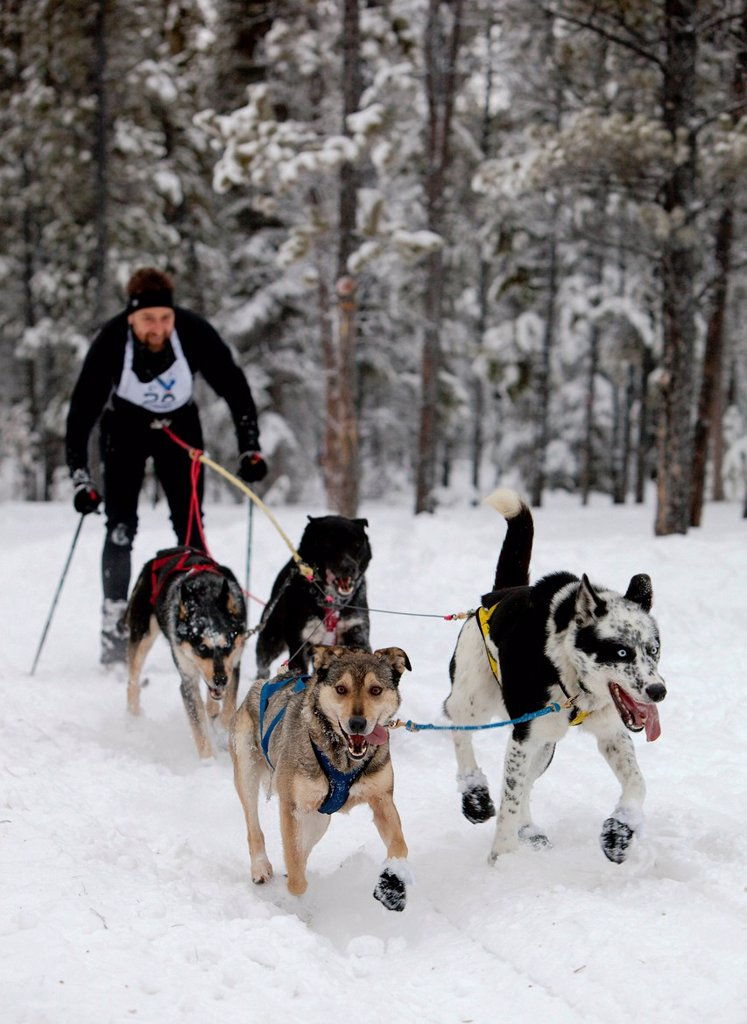 Man skijoring, sled dogs pulling cross country skier, dog sport, Alaskan Huskies, Carbon Hill dog sled race, Mt. Lorne, near Whitehorse, Yukon Territory, Canada : Stock Photo
