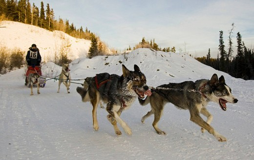 Stock Photo: 1848-414749 Running sled dogs, dog team, Alaskan Huskies, musher, dog sled race near Whitehorse, Yukon Territory, Canada