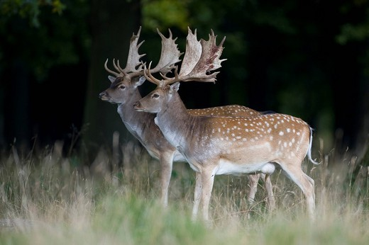 Stock Photo: 1848-415034 Fallow Deer Dama dama