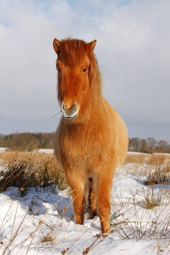 Icelandic Horse, Icelandic Pony Equus przewalskii f. caballus in winter in snow : Stock Photo