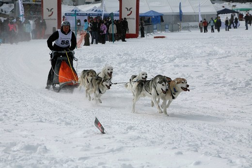 Start of a team of Siberian Husky sled dogs, International Sled Dog Race 2010, Lenzerheide, Graubuenden, Switzerland, Europe : Stock Photo