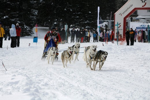 Stock Photo: 1848-415271 Start of a team of Siberian Husky sled dogs, International Sled Dog Race 2010, Lenzerheide, Graubuenden, Switzerland, Europe