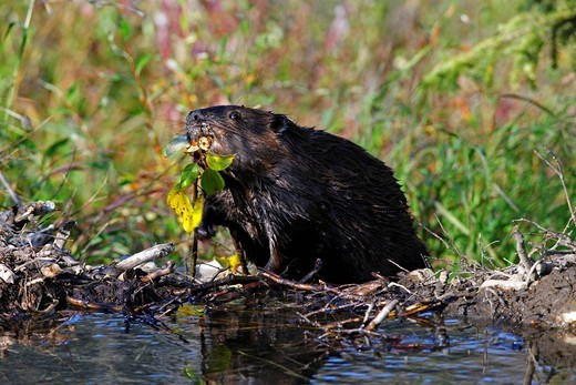 North American Beaver Castor canadensis building a dam in Denali National Park, Alaska, USA : Stock Photo