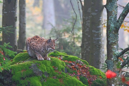 Stock Photo: 1848-416669 Eurasian Lynx or Northern Lynx Lynx lynx crouched on a rock, enclosure area, Bavarian Forest National Park, Bavaria, Germany, Europe