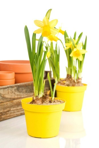 Daffodils Narcissus in flower pots : Stock Photo