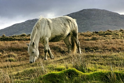 Connemara pony, Inagh Valley, County Galway, Republic of Ireland, Europe : Stock Photo