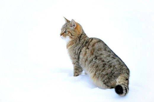 Wildcat Felis silvestris, juvenile in winter : Stock Photo
