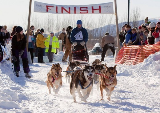 Stock Photo: 1848-418056 Running sled dogs, Alaskan Huskies, dog team, start of Road Runner 100 dog sled race, Whitehorse, Yukon Territory, Canada