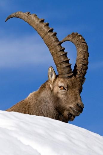 Alpine ibex Capra ibex, Mondscheinspitze Mountain, Karwendel Mountains, Tyrol, Austria, Europe : Stock Photo
