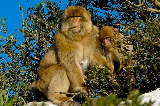Barbary macaques Macaca sylvanus, Gibraltar, Europe : Stock Photo