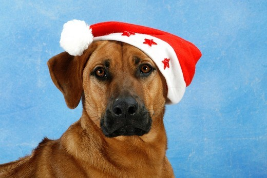 Stock Photo: 1848-419267 Mongrel dog with a Santa hat