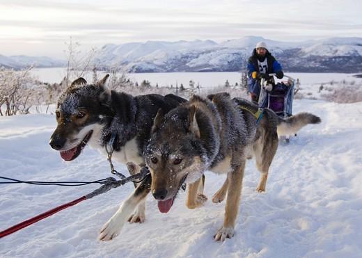 Stock Photo: 1848-419325 Sled dogs Alaskan Huskies, dog team, musher, dog sled race near Whitehorse, Fish Lake behind, Yukon Territory, Canada