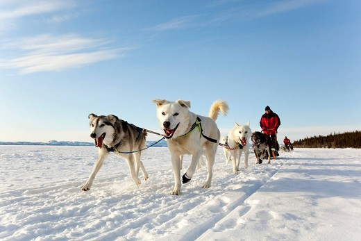 Two leaders, lead dogs, man, musher running, driving a dog sled, team of sled dogs, Alaskan Huskies, frozen Lake Laberge, Yukon Territory, Canada : Stock Photo