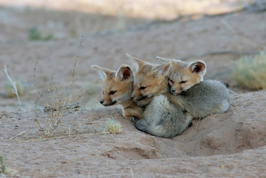 Stock Photo: 1848-421031 Cape fox Vulpes chama, pups in front of den, South Africa