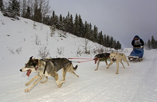 Running sled dogs, dog team, Alaskan Huskies, musher, dog sled race near Whitehorse, Yukon Territory, Canada : Stock Photo