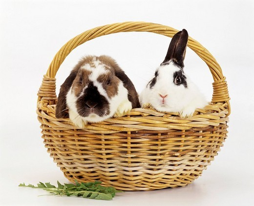 Domestic rabbits Oryctolagus cuniculus in a basket : Stock Photo