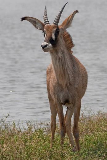Roan Antelope Hippotragus equinus, Chobe National Park, Botswana, Africa : Stock Photo