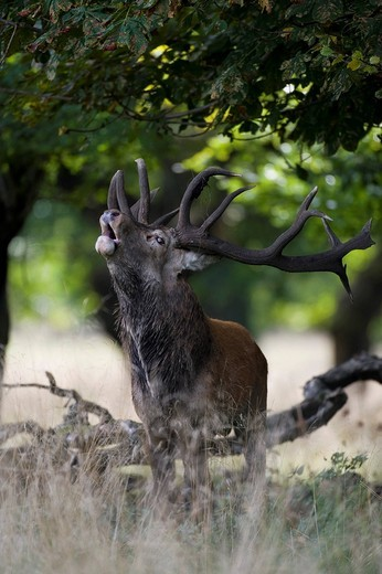 Stock Photo: 1848-422683 Red deer Cervus elaphus, stag